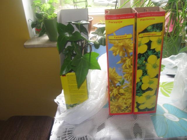 Bluszcz ogrodowy(hedera helix,Forsycja i Pieciornik)
