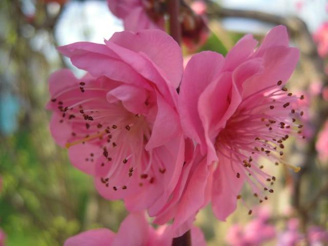 kwiaty brzoskwini