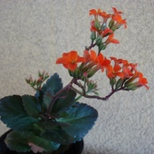 Kalanchoe.