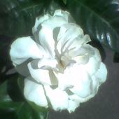 Gardenia w pełni kwitnienia...