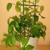 filodendron pnący