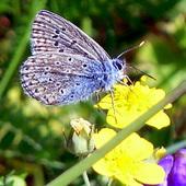 Jaskier z modraszkiem