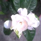 kolejny kwiat Gardenii się rozwinął