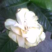 przekwitający kwiat Gardenii jest  również uroczy