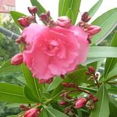 kwiat oleandra