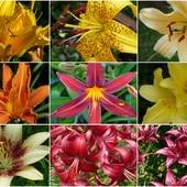 Lilie i liliowce