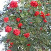 Czerwone korale...