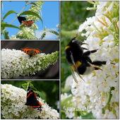 Motyli krzew,BUDLEJA.