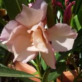 Pełny łososiowy oleander