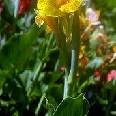 kanna żółta