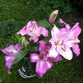 Lilia  orientalna