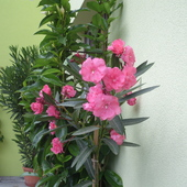 Różowy oleander.