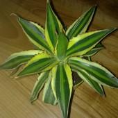Agave lophantha quadricolor.