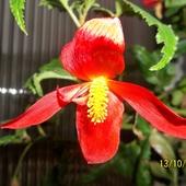 Begonia kaskadowa