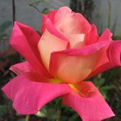 Róża dla Floksika