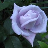 Róża dla Kammy