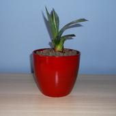 Sadzoneczka agawy