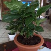 domowa mini plantacja- kawowiec