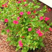 Dziwaczek Jalapa co  rok pięknie kwitnie :-)