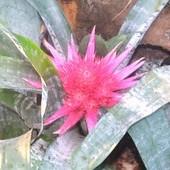 Kwitnąca Echmea