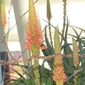 Rozkwitają Aloesy