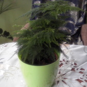 Asparagus pierzasty:)