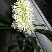 Kwiat jukki domowej