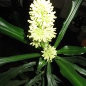Kwitnąca yucca domowa