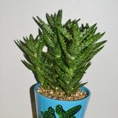 Prezent nr 2 - Aloe squarrosa