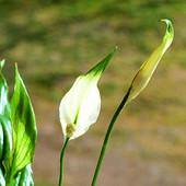 Skrzydłokwiat z Biedronki :-)