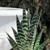Aloes tygrysi