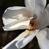 Pani magnoliowa ....