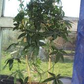 Passiflora młoda mamusia