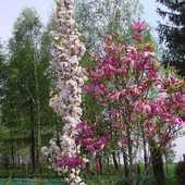 Wiśnia Amanogawa i magnolia .