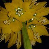 Zdjęcie nocą- Szachownica cesarska, korona cesarska – Fritillaria imperialis