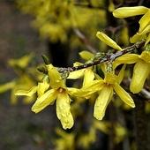 złoty deszcz słoneczny kwiat wiosny