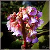 Begonia sercowata