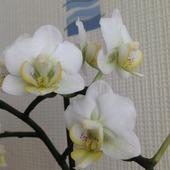 Biały storczyk mini