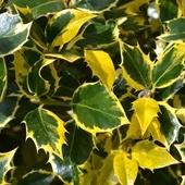 Kolorowe listki ostrokrzewu