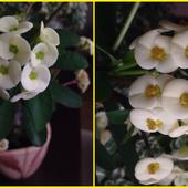 Ośmiopak kwiatuszków wilczomleczu
