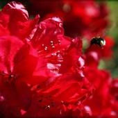 Bzyczek w rododendronach  :-)