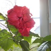 Chińska róża