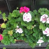 Kwiaty pelargonii