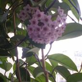Kwitnąca Hoja
