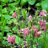rozowe orliki