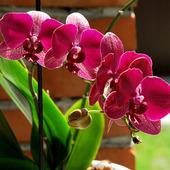 Bordowy phalaenopsis