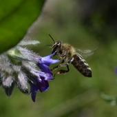 Farbownik i pszczoła w ogrodzie :)