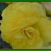 Kwiat begonii