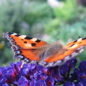 Kwiat motyli.