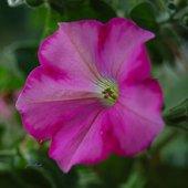 Petunia drobna